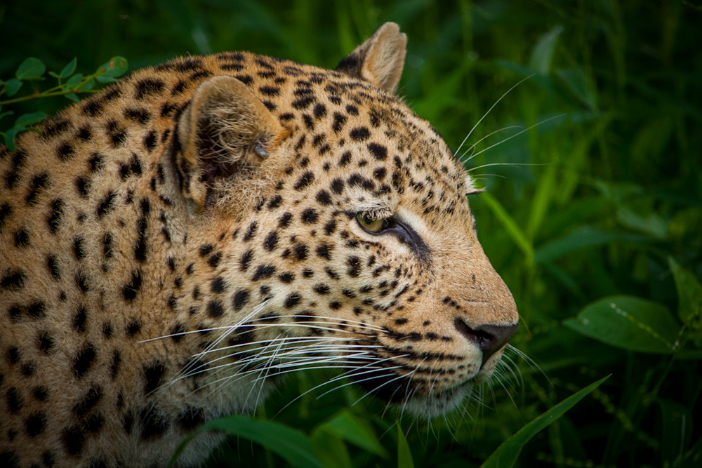 photography, leopard, South Africa, African Wildlife,
