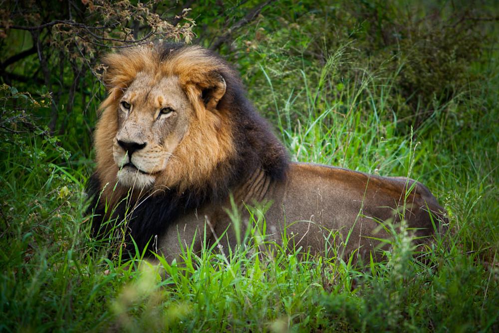 Africa, photography, lion, South Africa, African Wildlife, Kruger National Park