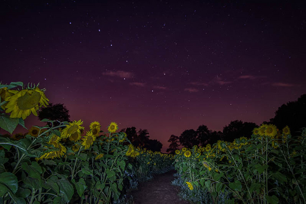 Sunflower field Big Dipper