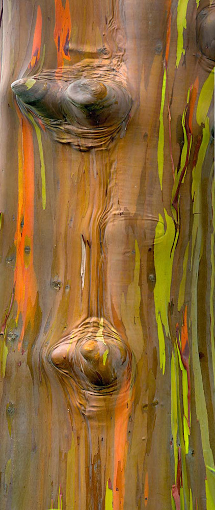 Rainbow Eucalyptus Knots | Kauai Fine Art Photography