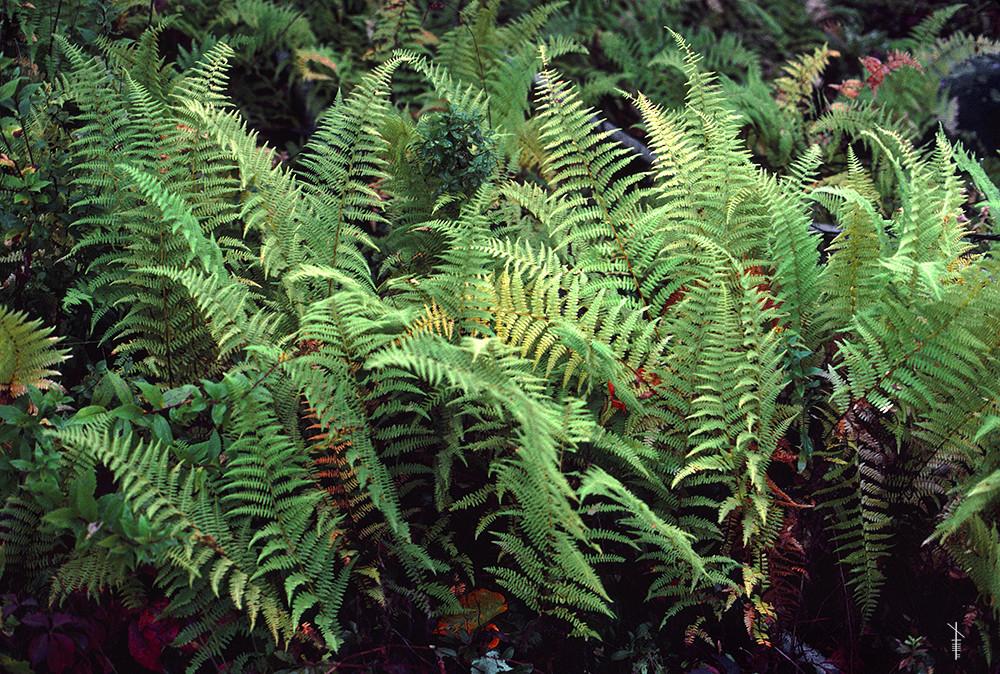 Christmas Ferns