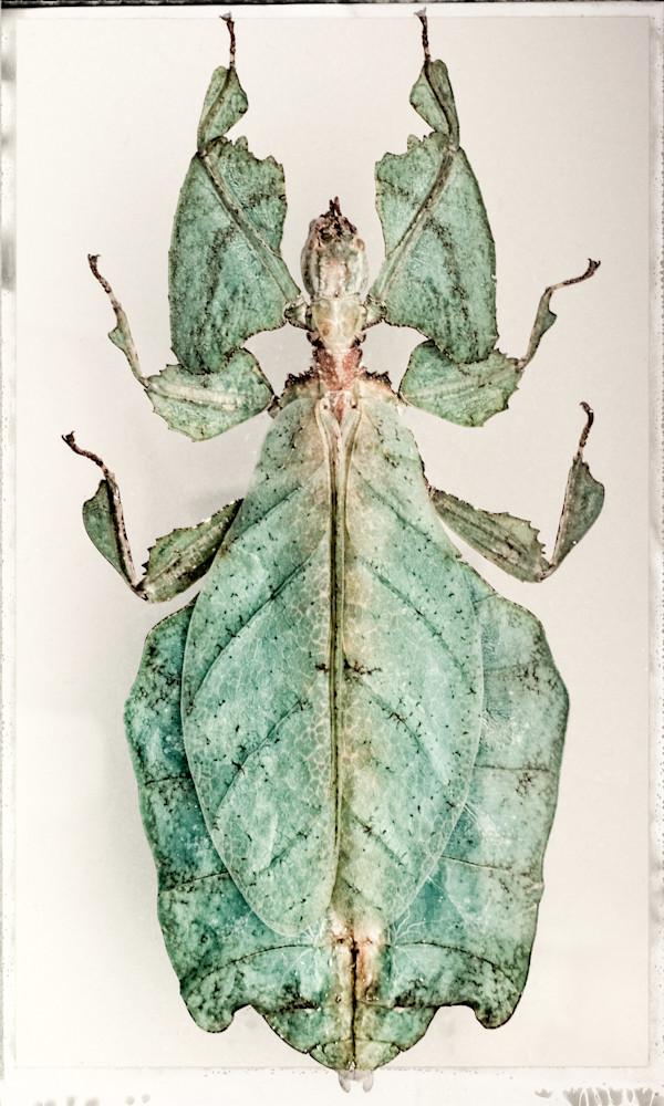 Phyllium Giganteum, Giant Leaf Insect Photography Art   David Frank Photography