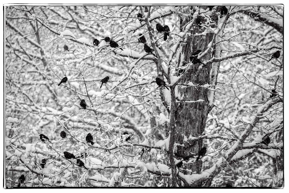 Winter Grackles