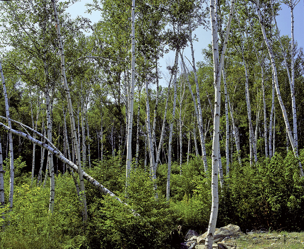 White Birch, White Mountains