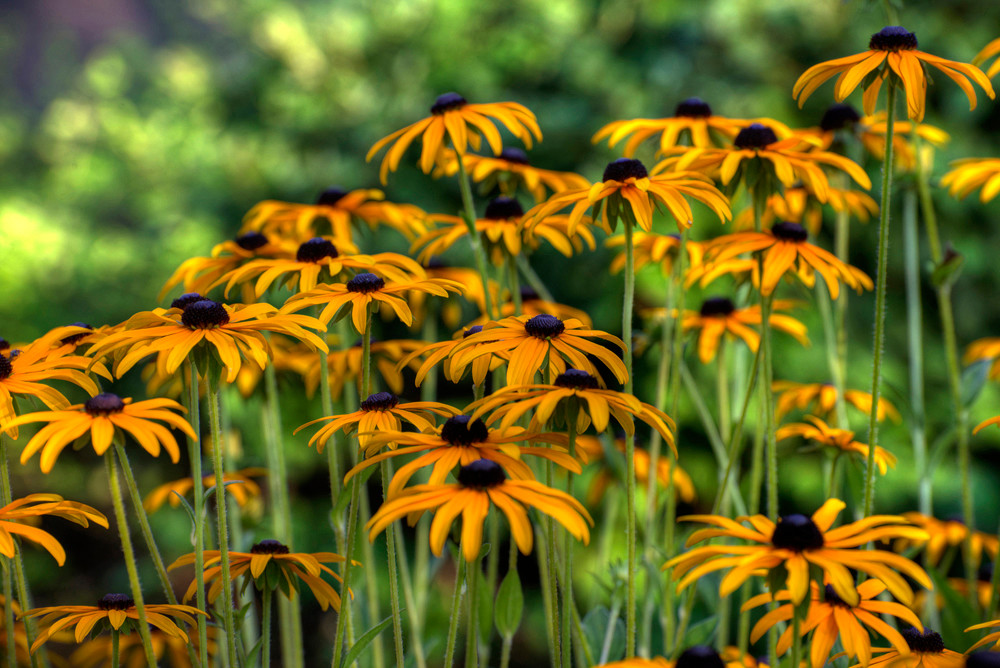 Black Eyed Susan 1