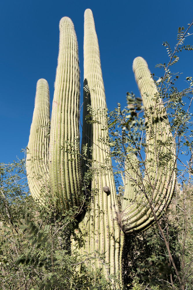 Tucson, Arizona; Ventana Canyon, a large Saguaro cactus against a deep blue sky in early morning sunlight