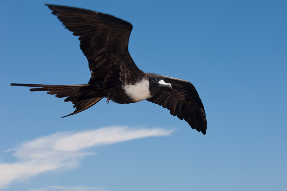 South Plazas Island, Galapagos, Ecuador; a female Magnificent frigatebird (Fregata magnificens) flying overhead against the blue sky