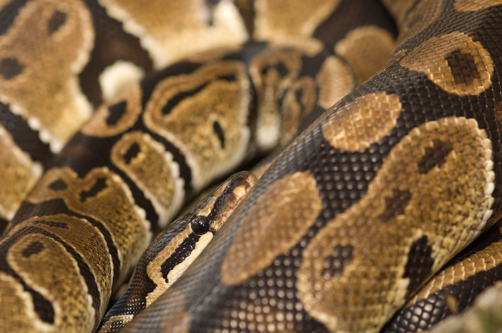 Santa Barbara, California; a Ball Python (Python regius) coils up forming an intricate pattern