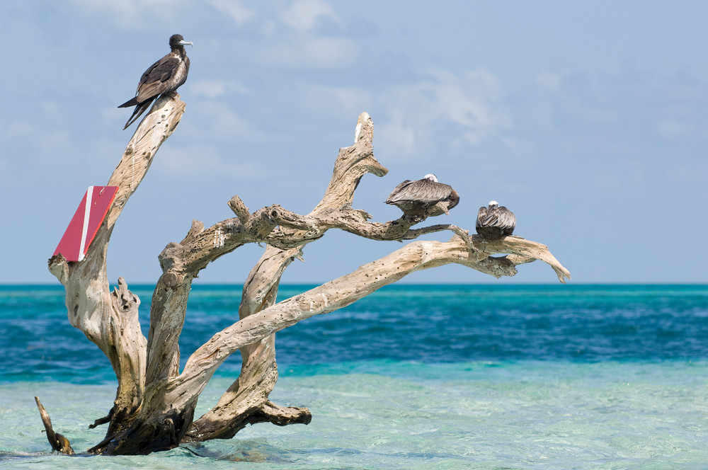 Long Caye, Glover's Reef Marine Reserve, Belize, Central America; a female Magnificent Frigatebird (Fregata magnificens) and Brown Pelicans (Pelecanus occidentalis) sit on a dead tree emerging from a sand bar off Long Caye