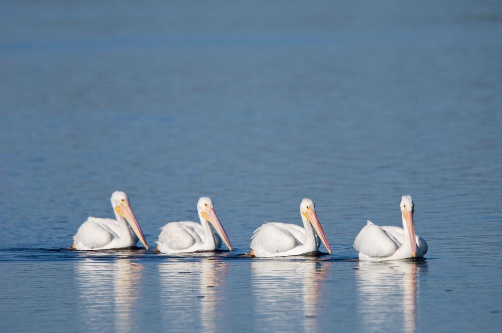 Ding Darling National Wildlife Refuge, Sanibel Island, Florida; four American White Pelican (Pelecanus erythrorhynchos) birds swim single file in the shallow water of the refuge