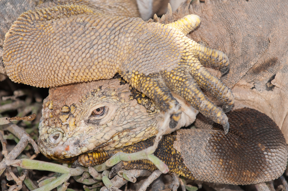 South Plazas Island, Galapagos, Ecuador; Galapagos Land Iguanas (Conolophus subcristatus) laying next to and on top of one another for warmth in the shade of a Prickly Pear Cactus (Opuntia Cactaceae)