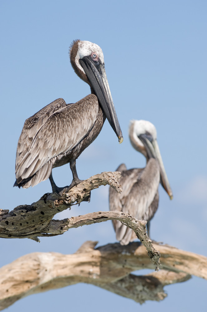 Long Caye, Glover's Reef Marine Reserve, Belize, Central America; two Brown Pelicans (Pelecanus occidentalis) sit perched on a dead tree emerging from a sand bar off Long Caye