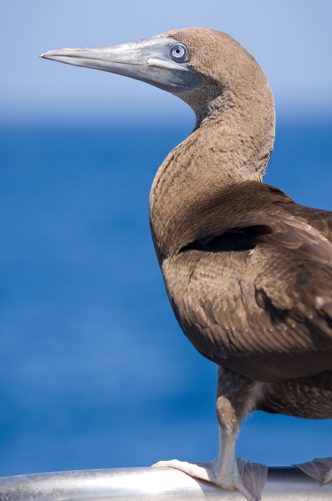 El Canon dive site, San Benedicto Island, Revillagigedos Islands, Mexico; Brown booby (Sula leucogaster) on the bow of the Solmar V dive boat