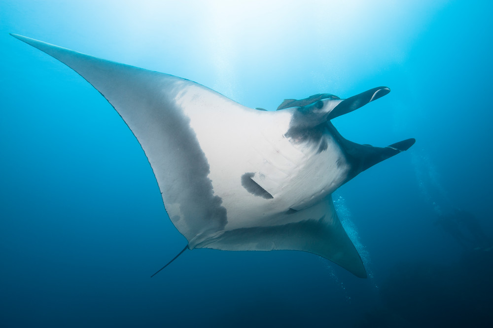 Manta Ray & Divers, San Benedicto Island, Mexico