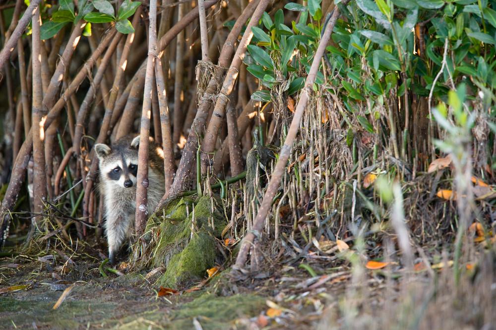 Raccoon in Mangroves, Sanibel Island, Florida