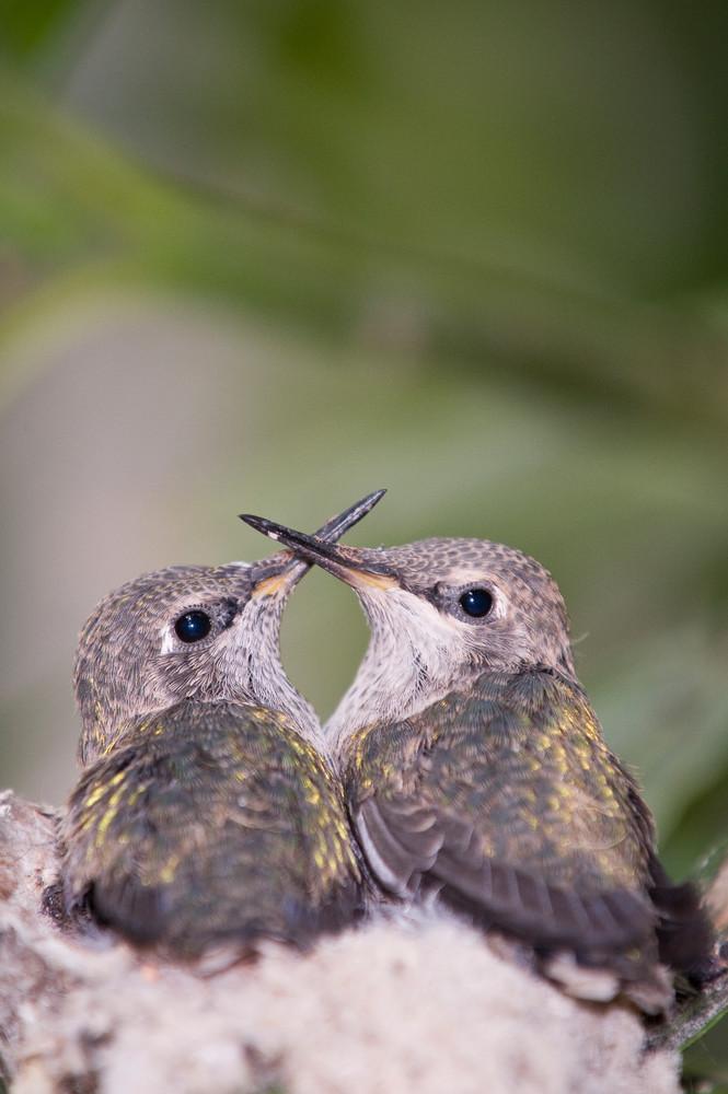 Anna's Hummingbird Chicks, La Jolla, California