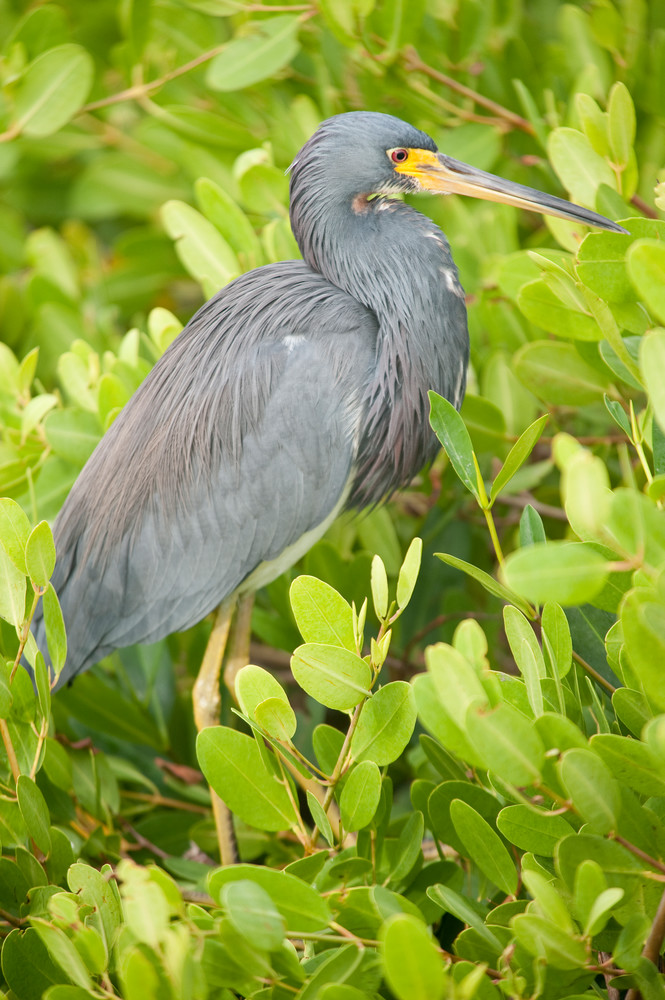 Tricolored Heron, Sanibel Island, Florida