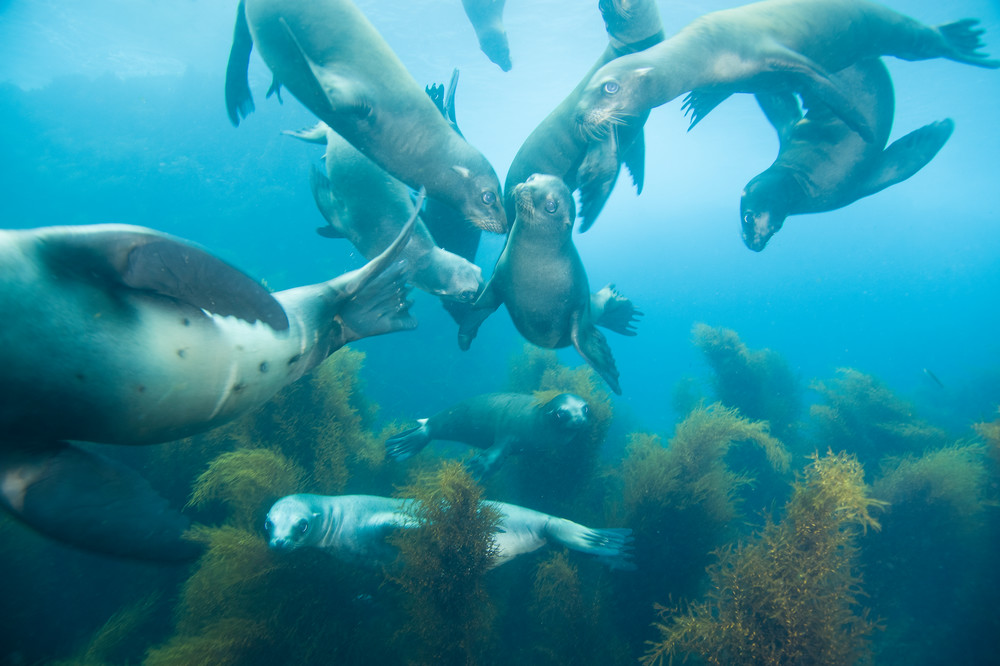 California Sea Lions Posing, Coronado Islands, Mexico