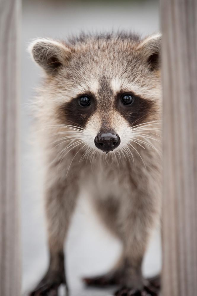 Baby Raccoon, Sanibel Island, Florida
