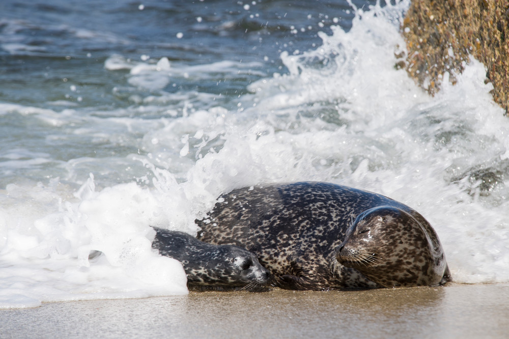 Harbor Seal & Pup in Wave, La Jolla, California