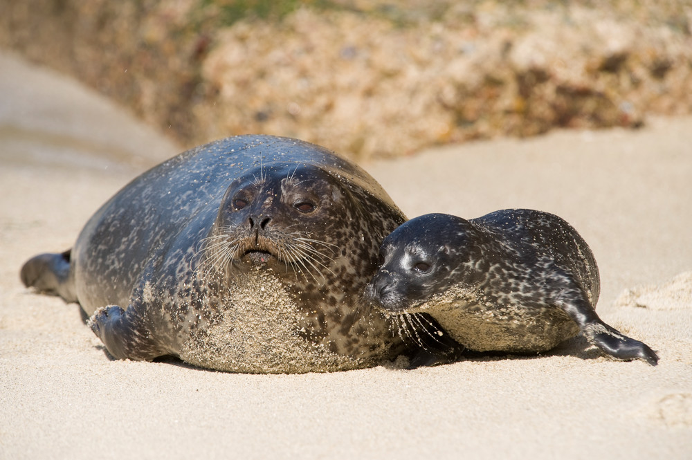 Harbor Seal & Pup, La Jolla, California
