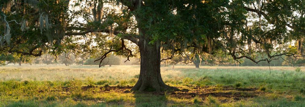 Live Oak Tree Backlit Pano, Damon, Texas