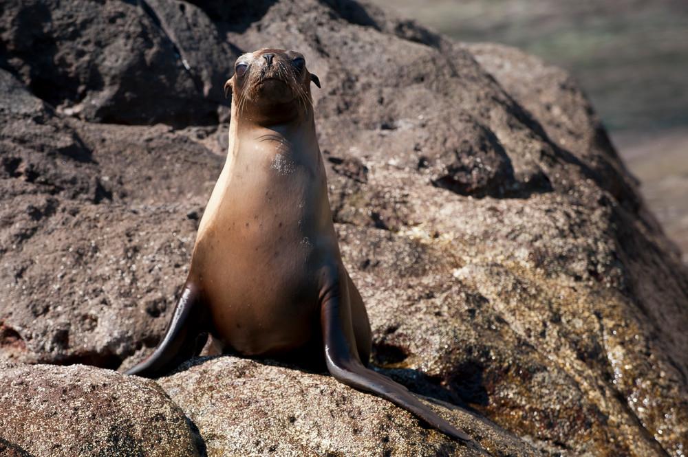 California Sea Lion Pup, Sea of Cortez, Mexico