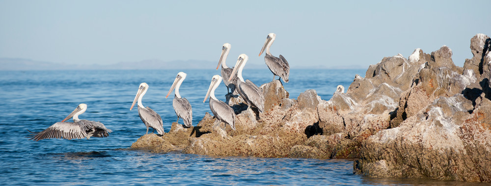 Brown Pelican Rock Island, Sea of Cortez, Mexico