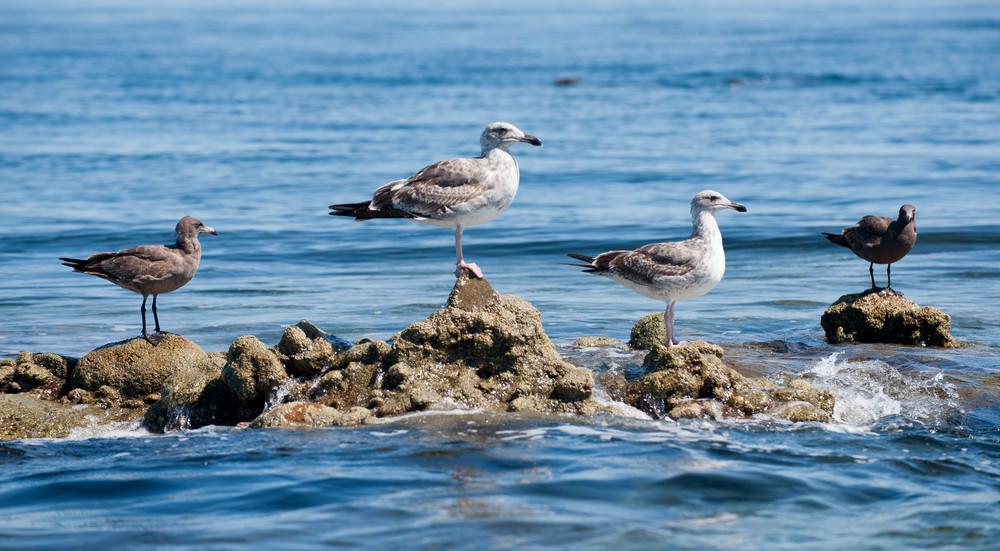 Sea gulls, Sea of Cortez, Mexico