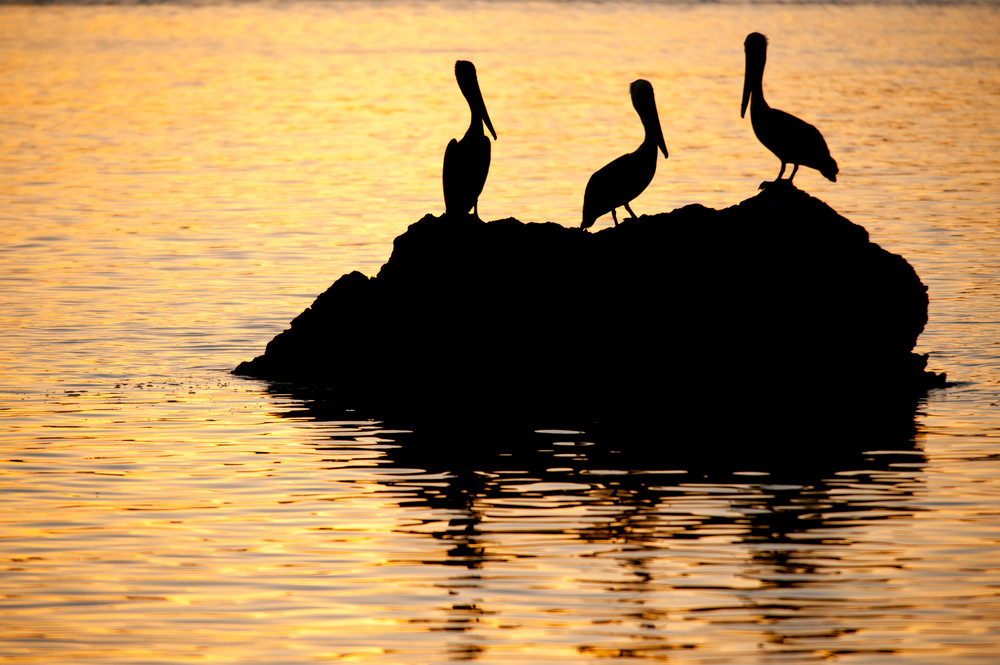 Brown Pelican Silhouette, Sea of Cortez, Mexico
