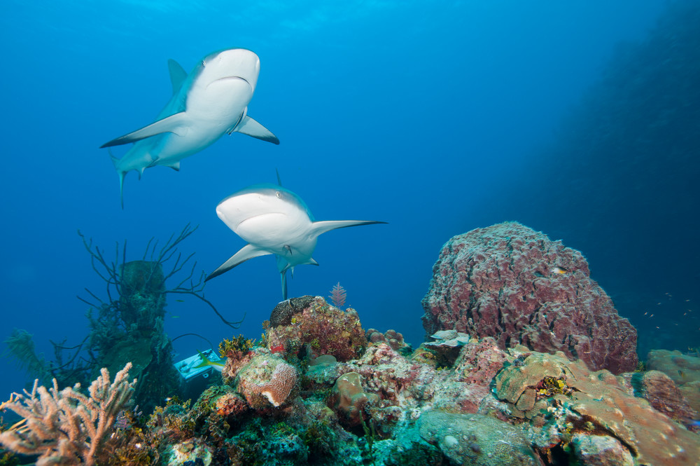 Caribbean Reef Shark Pair, Gardens of the Queen, Cuba