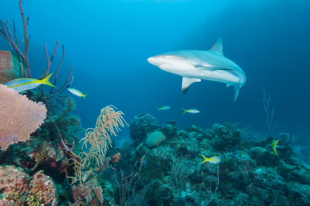 Caribbean Reef Shark, Gardens of the Queen, Cuba