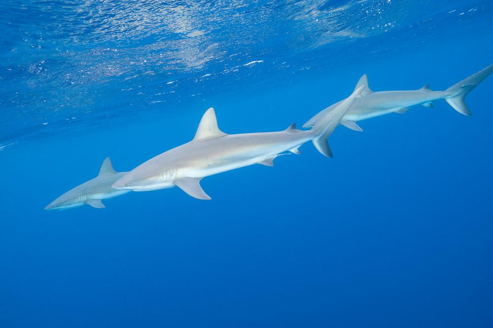 Caribbean Reef Shark Threesome, Gardens of the Queen, Cuba