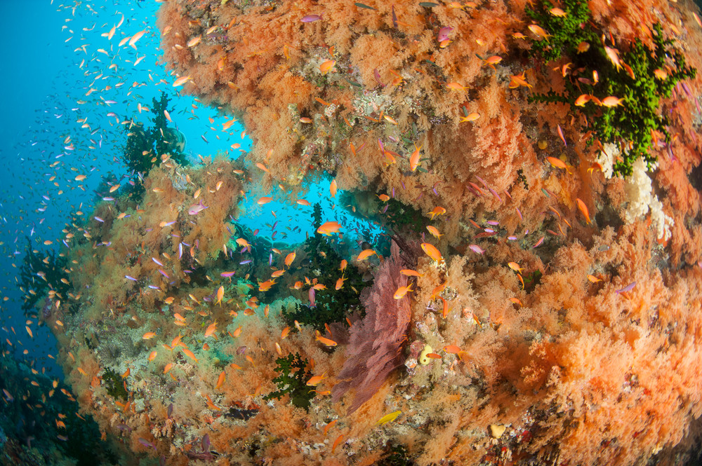 Anthias and Mellow Yellow Orange Soft Corals, Bligh Waters, Fiji