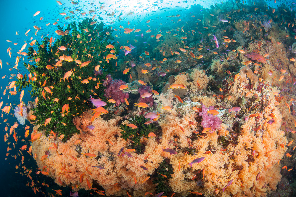 Anthias and Orange Soft Corals, Bligh Waters, Fiji