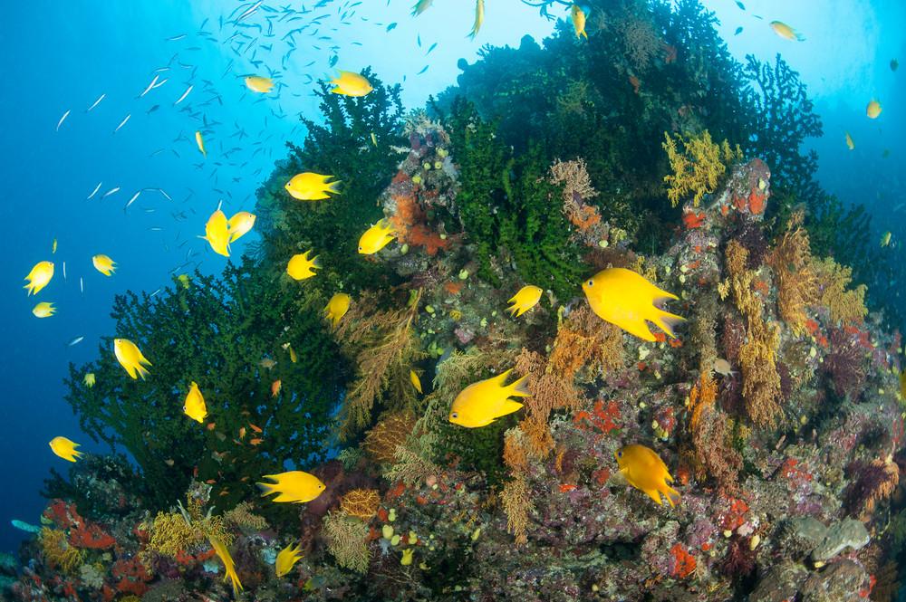 Golden Damsels & Black Sun Corals, Bligh Waters, Fiji