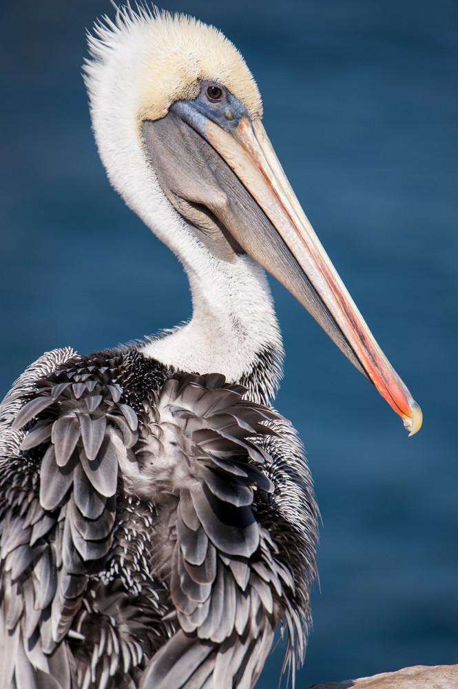 Brown Pelican Portrait, La Jolla, California