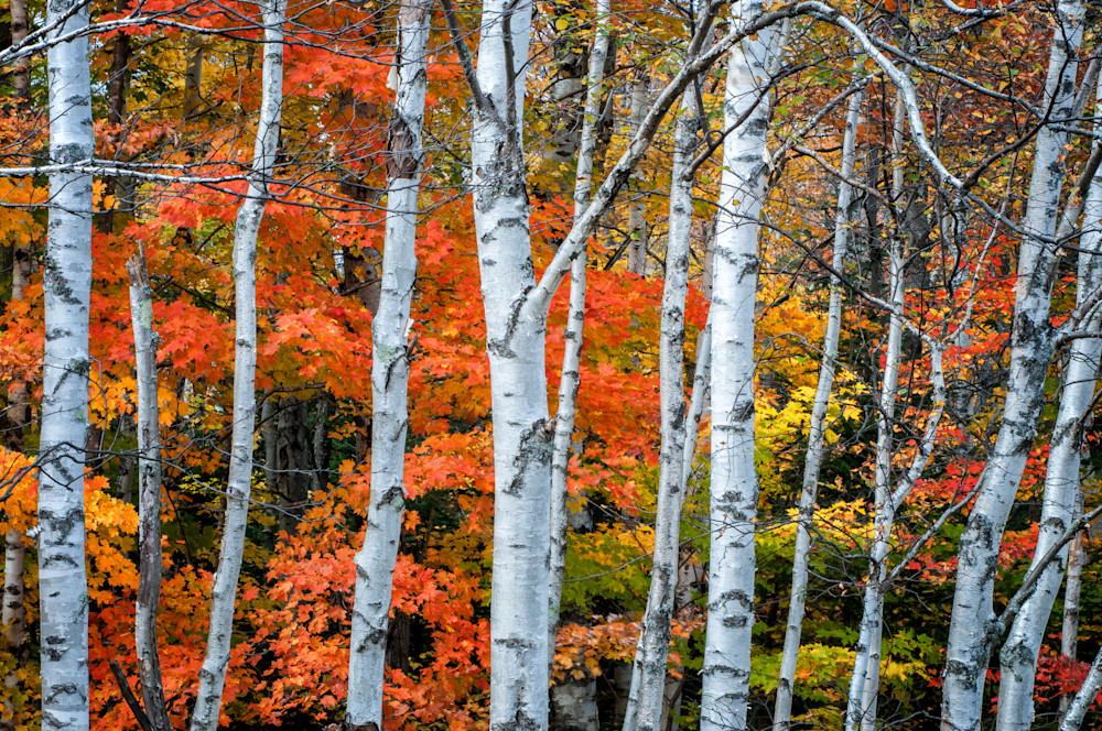 White Birch Forest Autumn