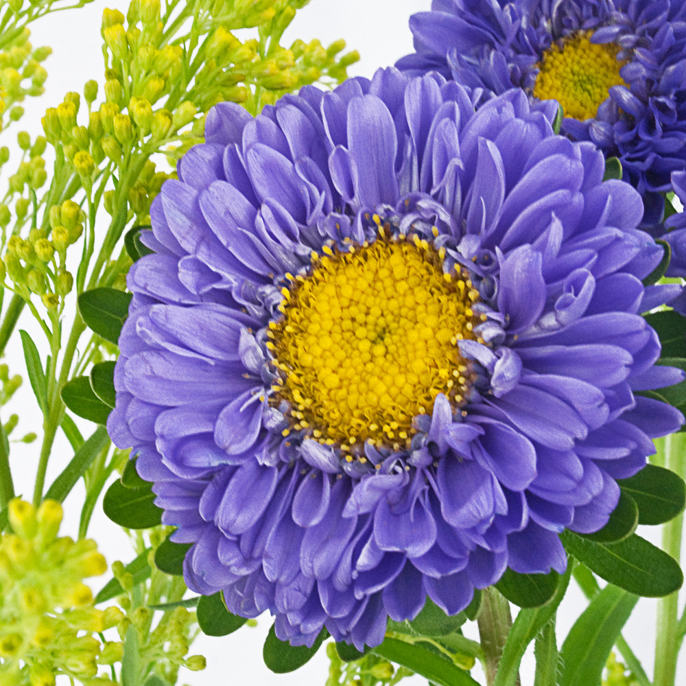 Blue Aster Two