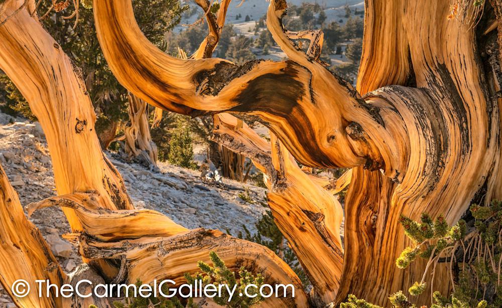 Autumn Sun, Bristlecone Pine