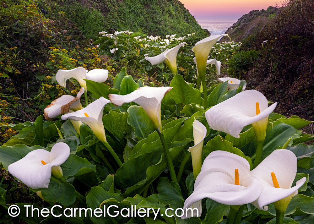 Calla Lilly Canyon