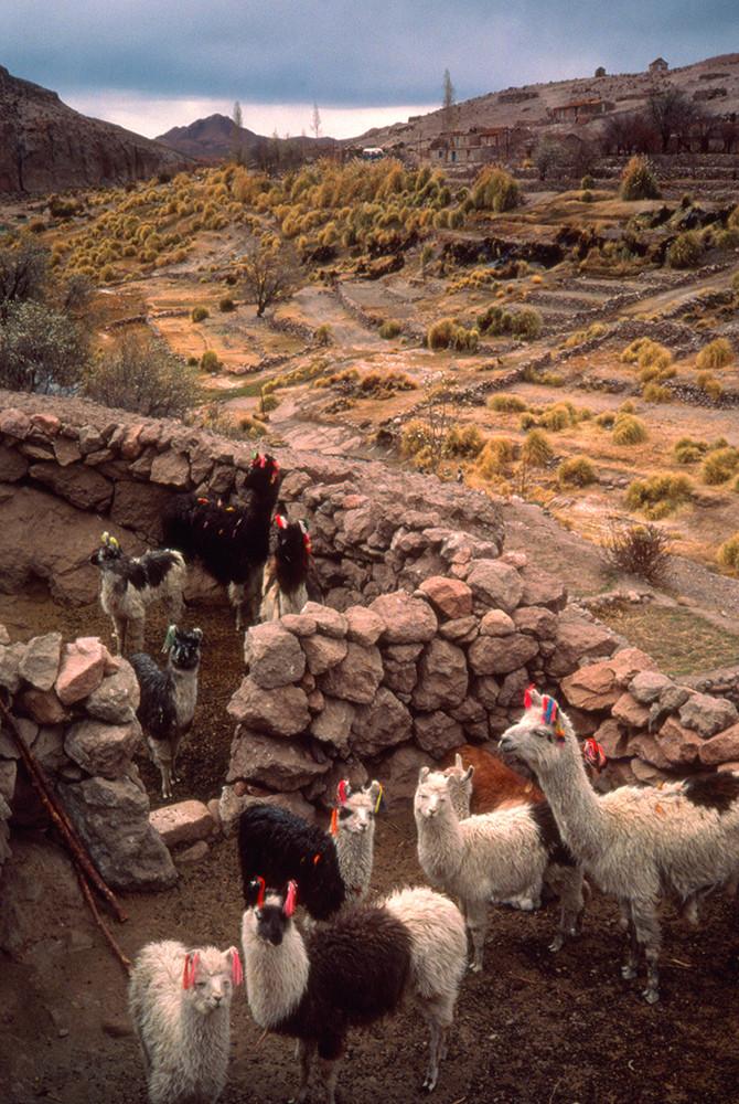 Llamas In Corral