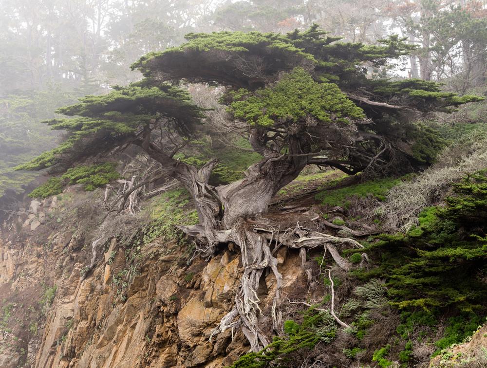 Old Veteran Cypress Tree