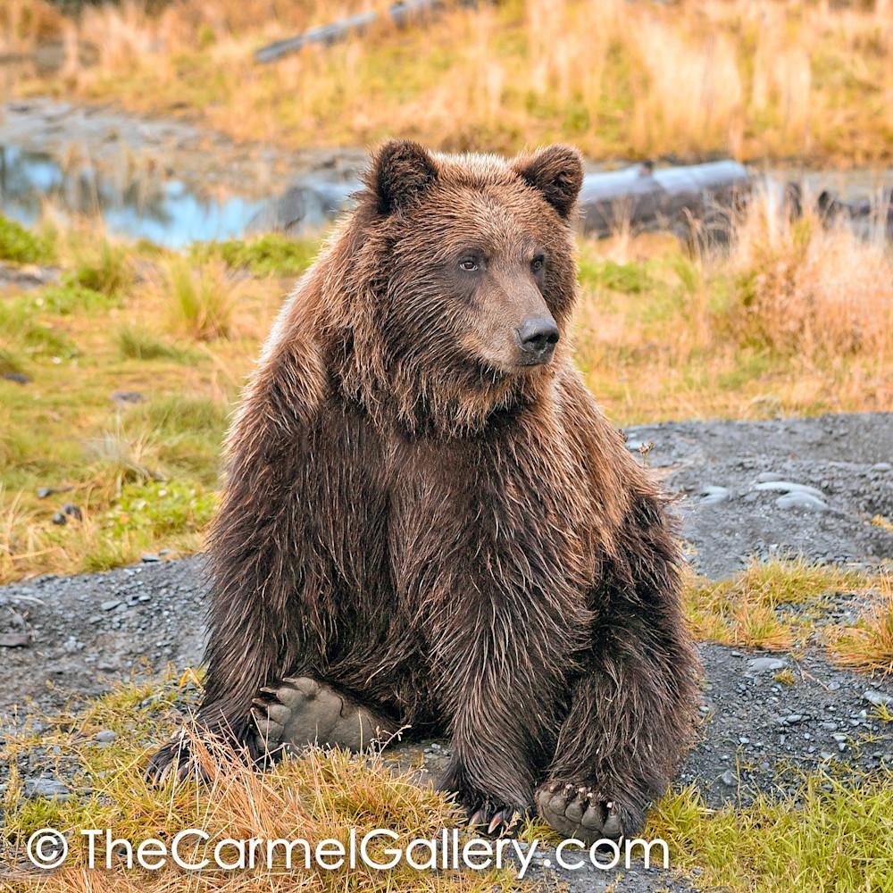 Bear Yearling II