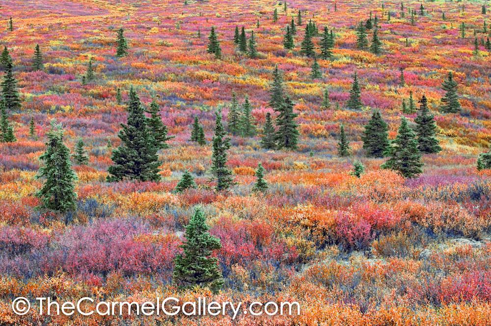 Black Spruce Autumn Tundra