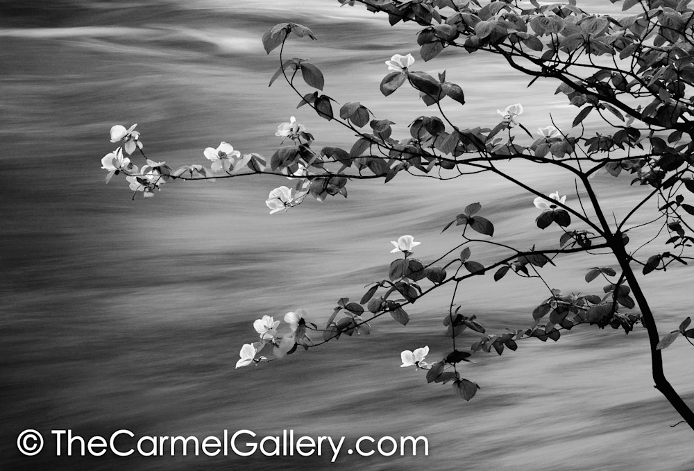 First Light Spring Blossoms BW