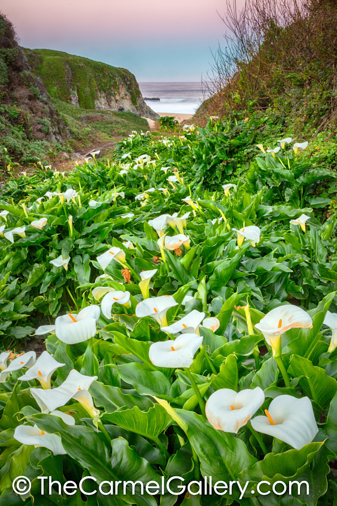 Calla Lilly Dawn, Big Sur