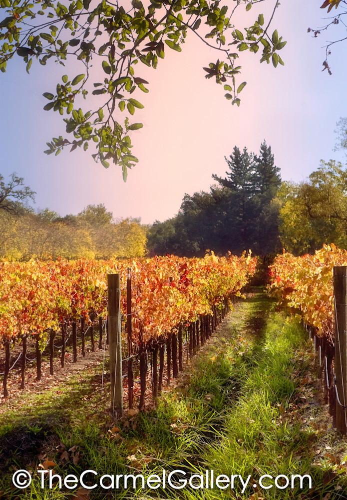 Foggy Vineyard Morning