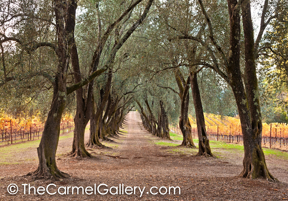The Olive Grove Path II
