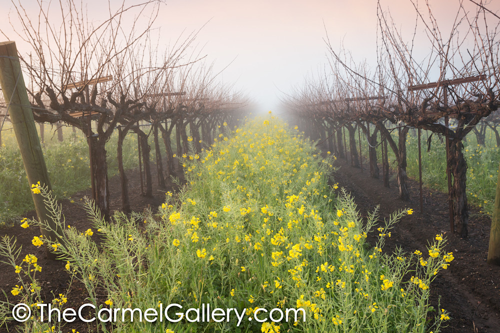 Mustard in the Mist